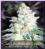 Garden of Green Diesel Berry Cough Fem 10 Seeds